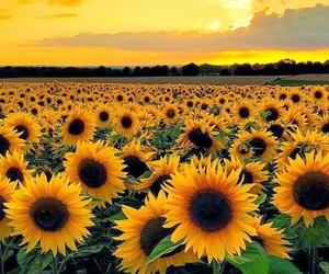 sunflower, flowers, and sunset image