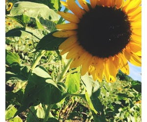 nature, sunflower, and pretty image