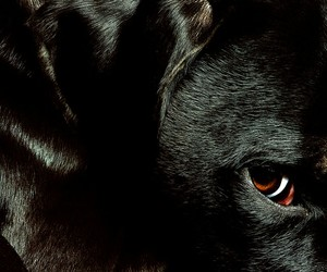 black, black animals, and black lab image