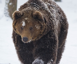animal, bear, and snow image