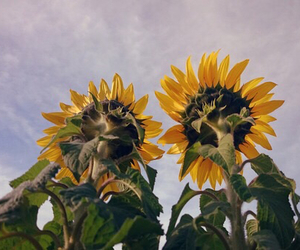 flowers, nature, and sunflower image