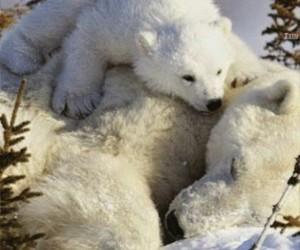 polar bears and snow image