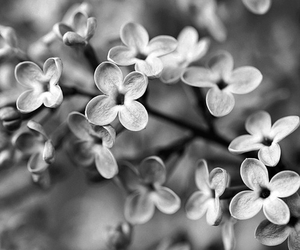 black and white, flowers, and photograph image