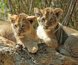mountain lion cubs, lion cubs for sale, and baby lion cub image