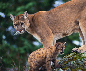 mountain lion cubs, lion cubs for sale, and lion cubs facts image