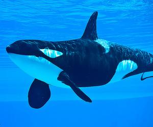animal, orca, and sea image