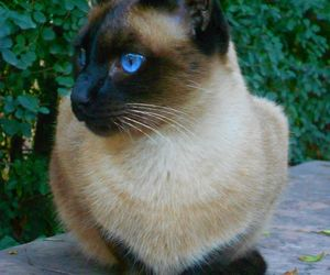 cat and siamese image