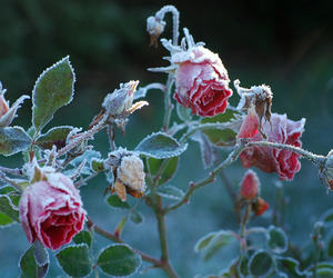 rose, flowers, and frozen image