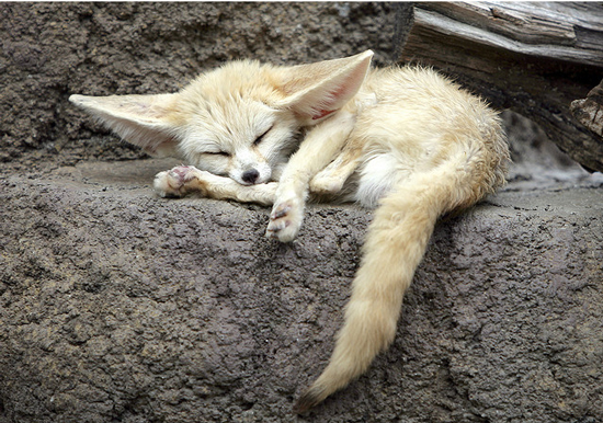 sleeping fennec fox cutestuff co cute animals cute pictures