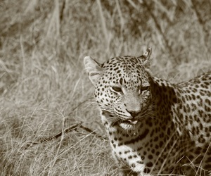 bush, leopard, and photography image