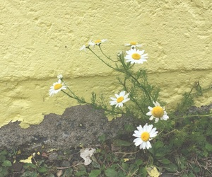colour, daisies, and daisy image