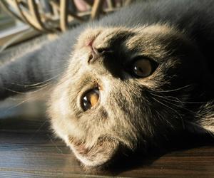 british, cat, and grey image