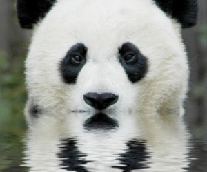 animal, panda, and white image