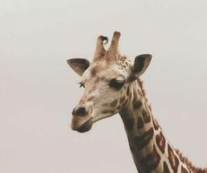 animals, girafa, and cute image
