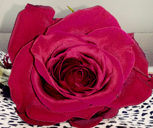 beautiful, red, and rose image