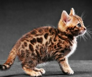 so cute, ❤, and race:chaton bengal image