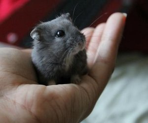 hamster, animals, and baby image