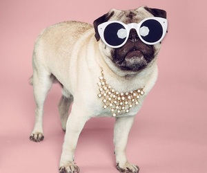 pug, cute, and cool image