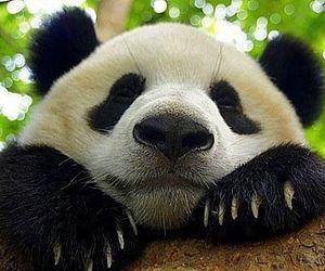 beautiful, panda, and cute image