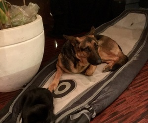 cat, dog, and shepard image