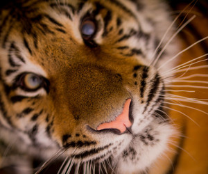 beautiful, face, and tiger image