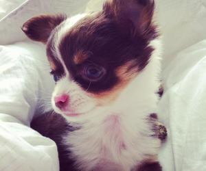 animal, chihuahua, and cutest image