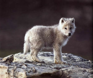 wolf, animal, and baby image