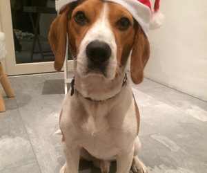 puppy, beagle, and christmas image