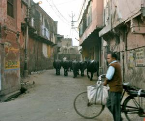 cows and india image