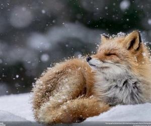 fox and snow image
