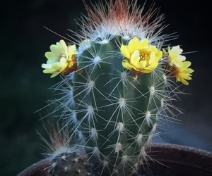 cacto, flower, and cactus image