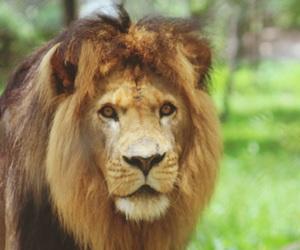 lion, zimbabwe, and wildlife image