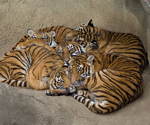 cub, tigre, and tijger image