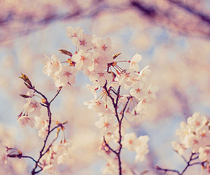 cherry blossoms, flower, and japan image