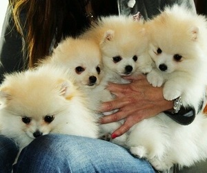 puppy, baby, and pomeranian image