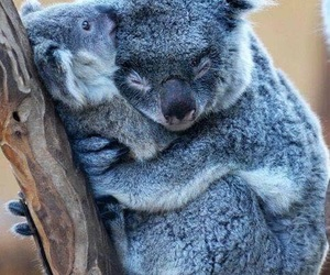 Koala, animal, and hug image