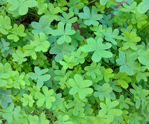 clovers, lucky, and nature image