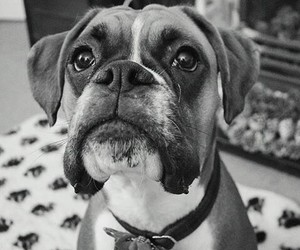 boxer, dog, and cute image