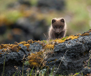 fox, animal, and iceland image