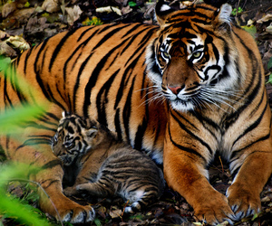 chester, cub, and tigre image