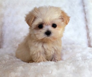 puppy and maltipoo image