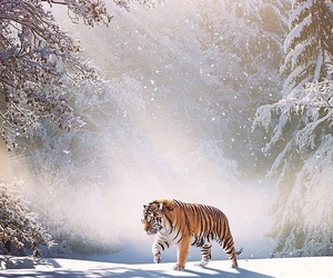animal, wild, and tiger image