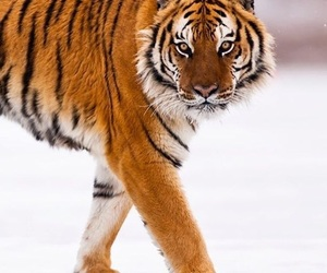 nieve, tiger, and snow image