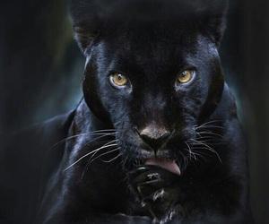 black, panther, and animal image
