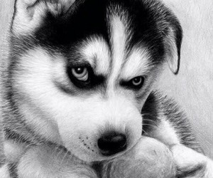 dog, husky, and puppy image