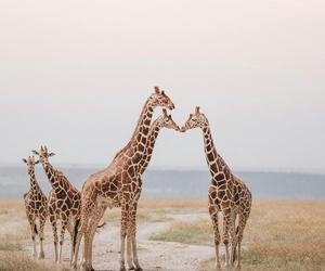 giraffe, animals, and explore image