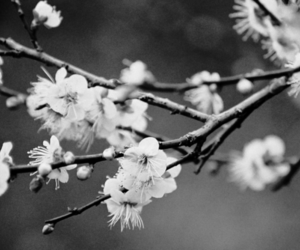 black and white, cherry blossom, and photography image