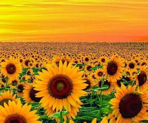 sunflower, flowers, and nature image