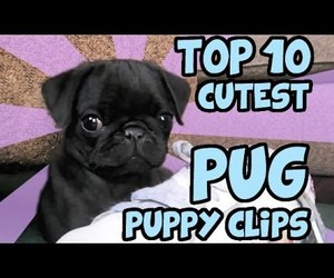 animals, dogs, and pugs image