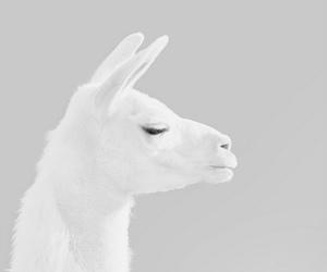 animal, llama, and white image